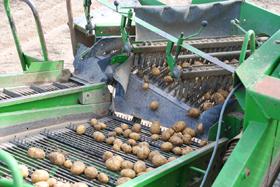 Kartoffelsortierung