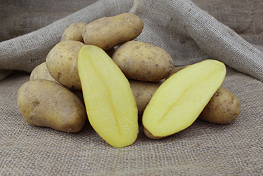 Kartoffelsorte Selma